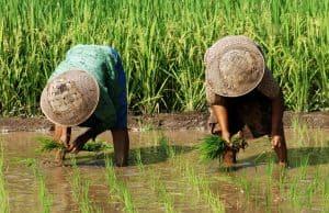 Arbeiders in de rijstvelden