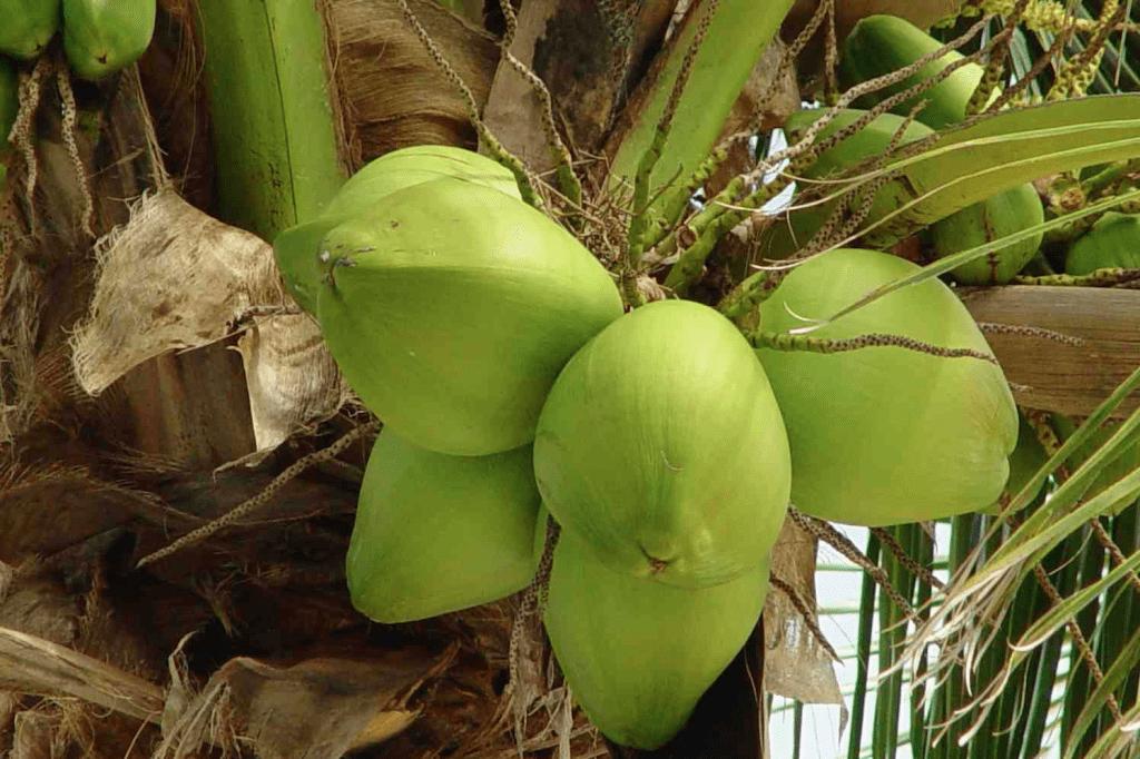 Kokosvrucht